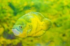 Le poisson mignon d'oscar (ocellatus d'Astronotus) est des espèces des poissons de Photographie stock