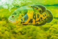 Le poisson mignon d'oscar (ocellatus d'Astronotus) est des espèces des poissons de Photographie stock libre de droits