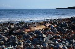 Le poisson mort reste Photographie stock libre de droits