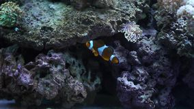 Le poisson nage dans l'eau bleue FullHD clips vidéos