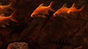 Le poisson rouge nage dans l'eau bleue FullHD banque de vidéos