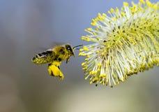 Le pollen a couvert l'abeille photographie stock libre de droits