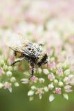 Le pollen a couvert l'abeille sur la tête de fleur de Sedum photographie stock