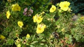 Le pollen a couvert le bourdon Photographie stock