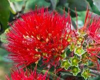 Fleur hawaïenne voyante Photos stock