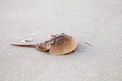 Le polyphemus atlantique de Limulus de crabe en fer à cheval marche le long du blanc photos stock
