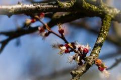 Le pommier de fleur au-dessus du ressort de fond de nature fleurit/ressort Photos stock