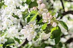Le pommier de floraison aiment gentil images stock