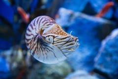 Le pompilius de Nautilus ou le nautilus chambré, est des céphalopodes avec Photographie stock