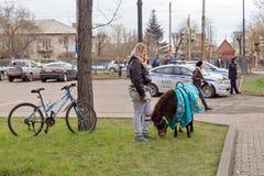 Le poney de Brown frôle sur l'herbe verte à côté de la fille et du vélo images stock