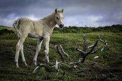 Le poney sur amarre Photographie stock