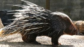 Le porc-épic avec de longues aiguilles marche autour de la volière dans le zoo clips vidéos
