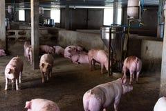 Le porc de ferme, marchant dans l'étable Photos libres de droits