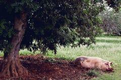 Le porc de ménage a plaisir à détendre en saleté Grand porc se reposant en sable sous l'arbre Porc domestique - symbole de l'anné image libre de droits