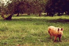 Le porc de ménage a plaisir la détente Grand porc se reposant sous l'arbre Porc domestique - symbole de l'année photo stock