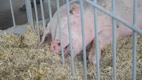 Le porc des personnes adultes se trouvent sur le foin dans la stalle bétail banque de vidéos
