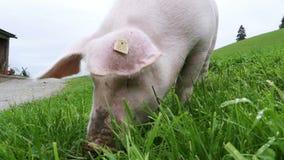 Le porc rose marche et mange des racines sur un pré vert dans les montagnes de l'Autriche clips vidéos