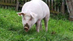 Le porc rose marche et mange des racines sur un pré vert dans les montagnes de l'Autriche banque de vidéos