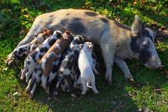 Le porc soigne les porcelets photographie stock libre de droits