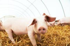 Le porcelet sur le foin et la paille à l'élevage de porc cultivent Photos stock