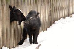 Le porcin et la chèvre Images libres de droits