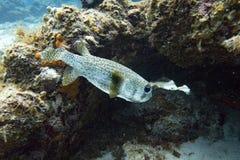 Le porcupinefish d'aileron de tache vont se cacher en récif coralien Images stock