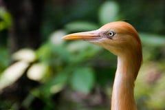 Le portrait étroit du héron de bétail d'oiseau est l'oiseau le plus nombreux de la famille de héron photos libres de droits