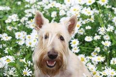 Le portrait blond comme les blés de sourire de Terrier d'écossais dans la camomille fleurit photos stock