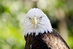 Le portrait captif d'Eagle chauve, soutiennent le zoo creux, Athènes la Géorgie Etats-Unis images libres de droits