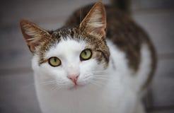 Le portrait d'un chat blanc et rayé a photographié d'en haut Photographie stock libre de droits