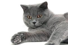 Le portrait d'un chat gris multiplie le backgro blanc d'écossais tout droit Images libres de droits