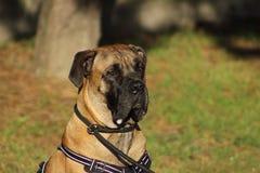 Le portrait d'un chien de corso de canne avec les yeux et la bouche tendres a rempli de bave photos stock
