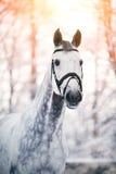 Le portrait d'un gris folâtre le cheval pendant l'hiver Photo stock