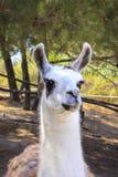 Le portrait d'un lama, se ferment  Photos stock