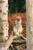 Le portrait d'un singe est se reposant, se reposant et posant sur la branche de l'arbre dans le jardin Le singe de Patas est type photographie stock