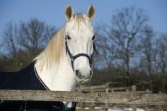 Le portrait de cheval blanc dans le jour ensoleillé de corral d'hiver Photographie stock libre de droits