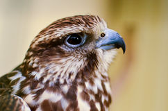 Le portrait de faucon pris au zoo images stock