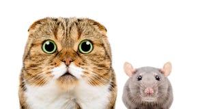 Le portrait de l'écossais plient le chat et le rat gris Photos stock