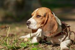 Le portrait de l'été de plan rapproché de chien de briquet Photos libres de droits