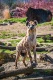 Le portrait de l'Africain énorme et puissant a repéré l'hyène photographie stock