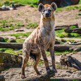 Le portrait de l'Africain énorme et puissant a repéré l'hyène image libre de droits