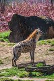 Le portrait de l'Africain énorme et puissant a repéré l'hyène photos stock