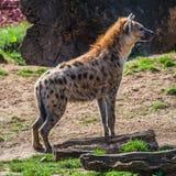 Le portrait de l'Africain énorme et puissant a repéré l'hyène photos libres de droits