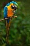 Le portrait de l'ara bleu-et-jaune, ararauna d'arums, également connu sous le nom d'ara de bleu-et-or, est un grand perroquet sud Photo libre de droits