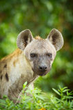Le portrait de l'hyène Photographie stock