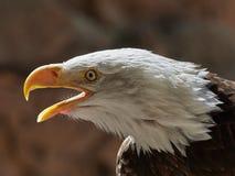 Le portrait de leucocephalus de Haliaeetus d'aigle chauve photo stock