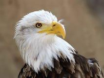 Le portrait de leucocephalus de Haliaeetus d'aigle chauve photos libres de droits