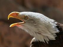 Le portrait de leucocephalus de Haliaeetus d'aigle chauve images libres de droits