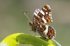 Le portrait de plan rapproché de papillon de carte Image stock