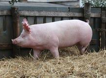 Le portrait de vue de côté d'un rose a coloré la truie de porc Photo libre de droits